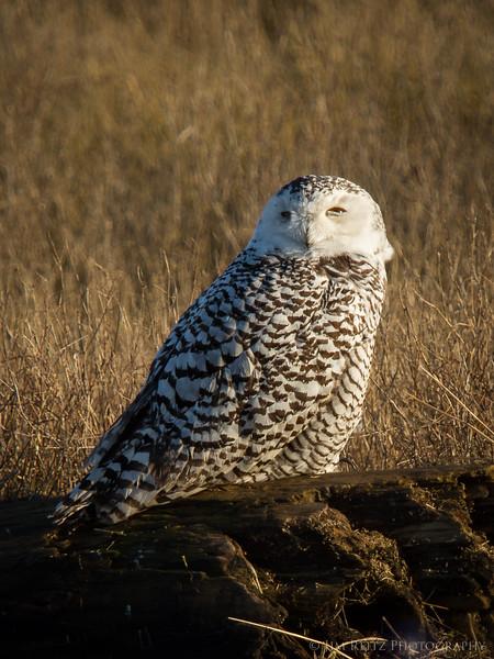 Snowy owl at Boundary Bay, Canada.