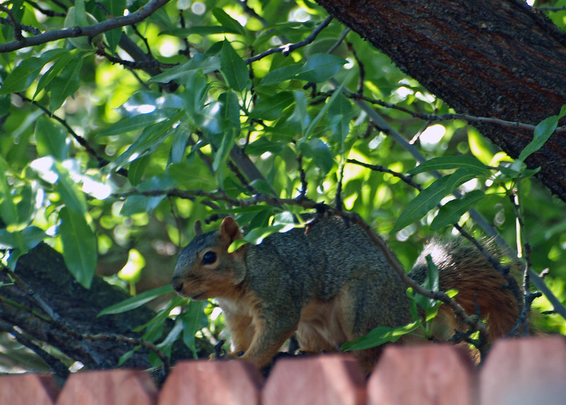 Squirrel on fence, Pittsburg