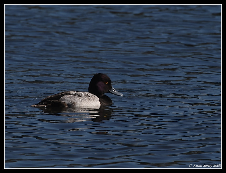 Lesser Scaup, Famosa Slough, San Diego County, California, December 2008