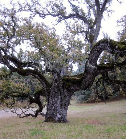 Life of an Oak