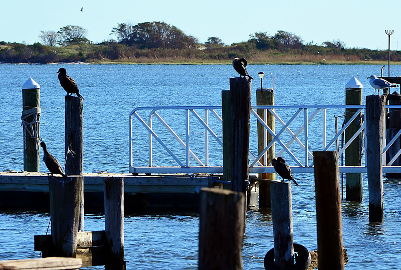 4 Cormorants and a Gull.jpg