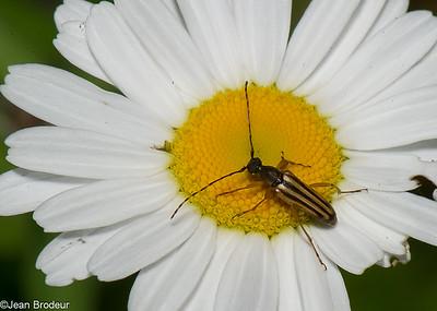 Les Coleopteres du Quebec, Chrysomelidae, Cerambycidae