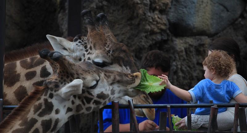 Giraffes at public feeding time