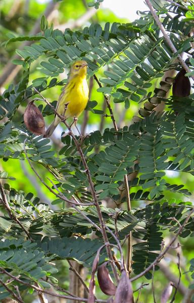 Prairie Warbler, a US breeding resident, wintering in Cuba.
