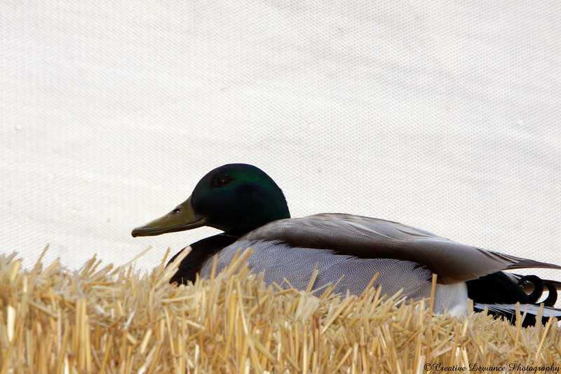 Upclose on the duck