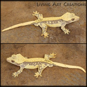 ***SOLD CRESTED GECKOS ***