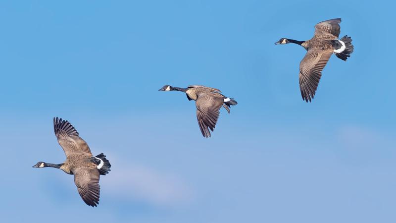 020030 Geese Aloft Three 16x9.jpg