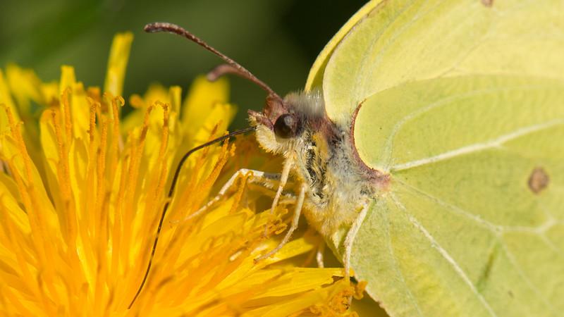 Citroenvlinder , Gonepteryx rhamni. Ilpendam The Netherlands,