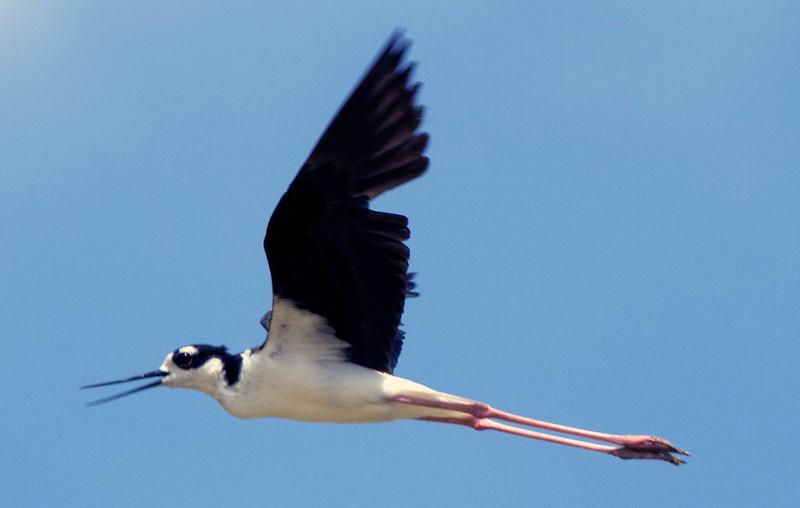 Black-necked stilt, Willow Waterhole, Houston