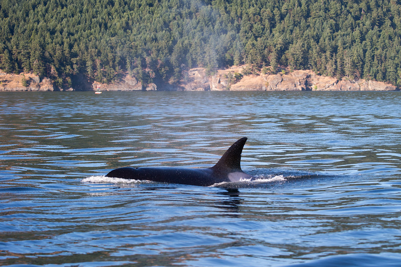 Orcas -  073115-721.jpg