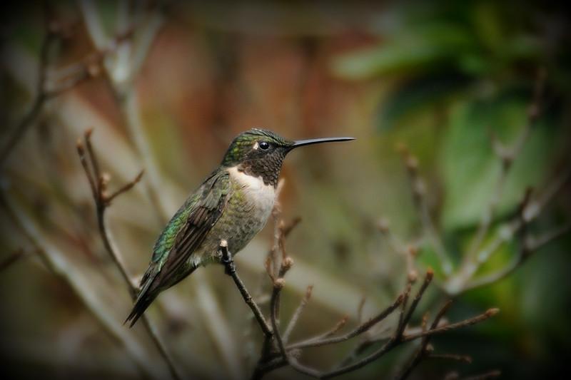 Mature Male Ruby-Throated Hummingbird