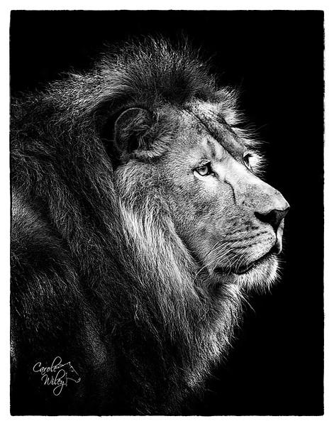 lion for ccc.jpg