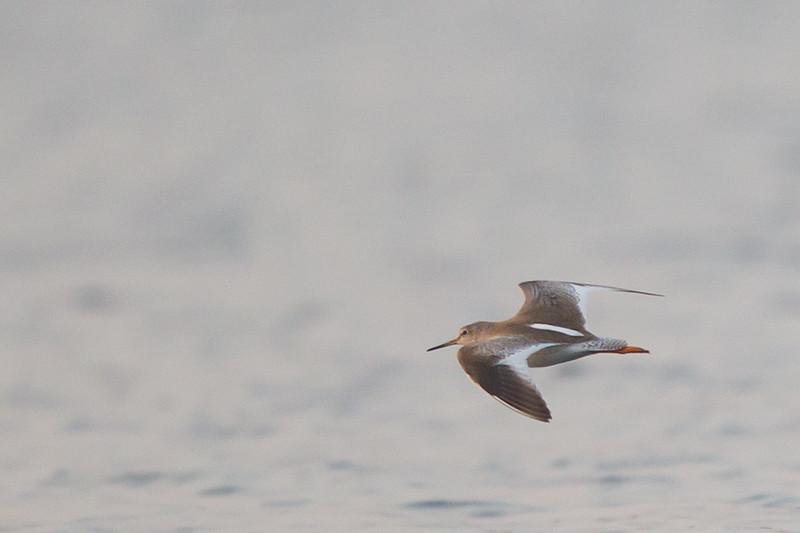 Common Redshank - Record - Ameenpur Lake, Hyderabad, India