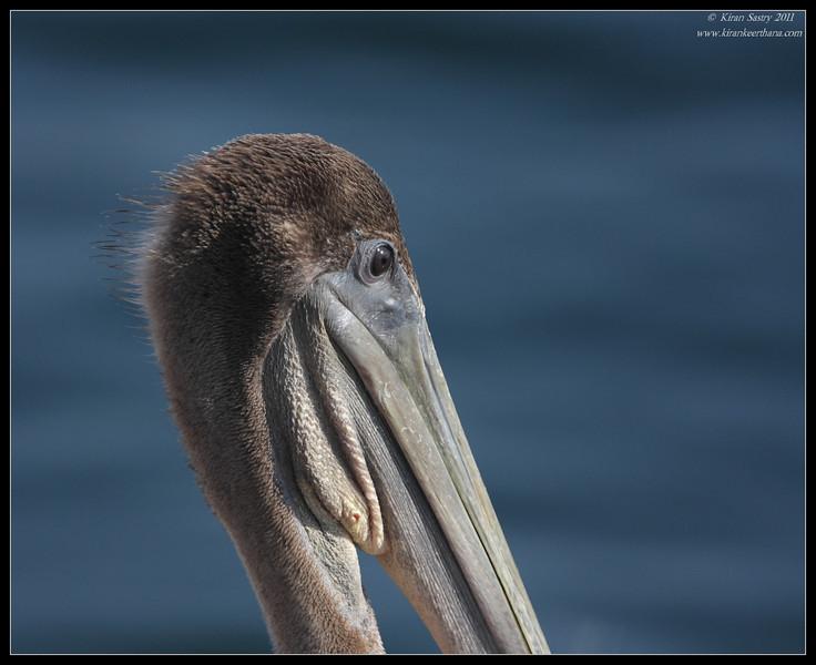 Juvenile Brown Pelican portrait, Quivira pier, Whale watching trip, San Diego County, California, July 2011