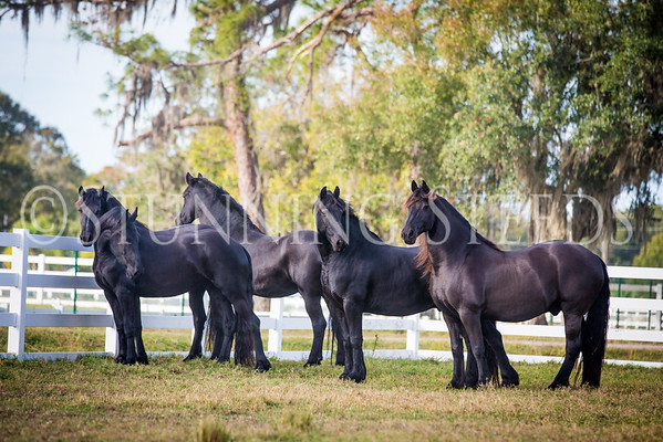 geldings and mares