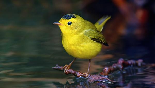 Warblers & Songbirds