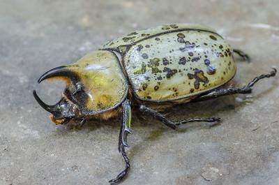 Eastern Hercules Beetle (Dynastes tityus)