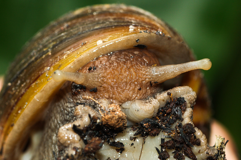 Portrait of a huge land snail from Thailand.
