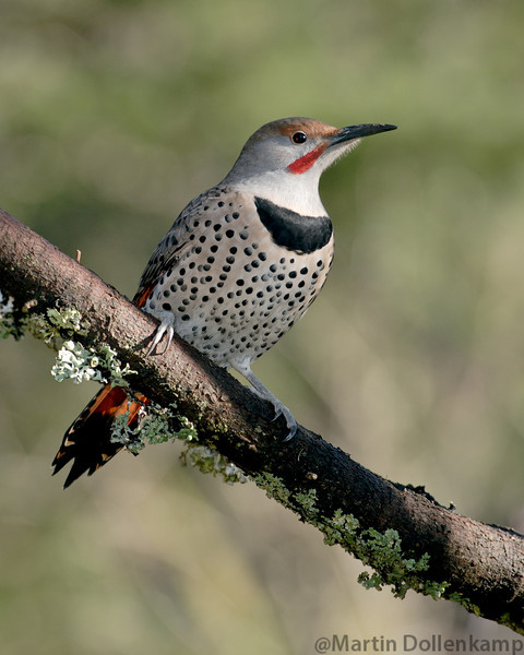 Northern Red Shafted Flicker on branch.