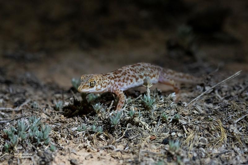 Gibber Gecko, Deniliquin, NSW, Australia Oct 2018-2.jpg