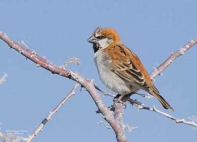 Great Sparrow (Passer motitensis)