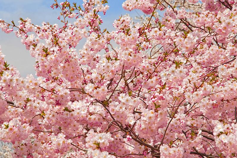 April 16_BranchBrookCherryBlossoms_7432.jpg