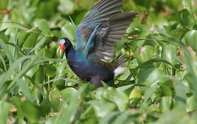 Purple Galinule