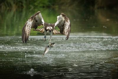 Rutland Osprey's
