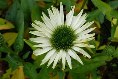 Echinacea 'Virgin'.jpg