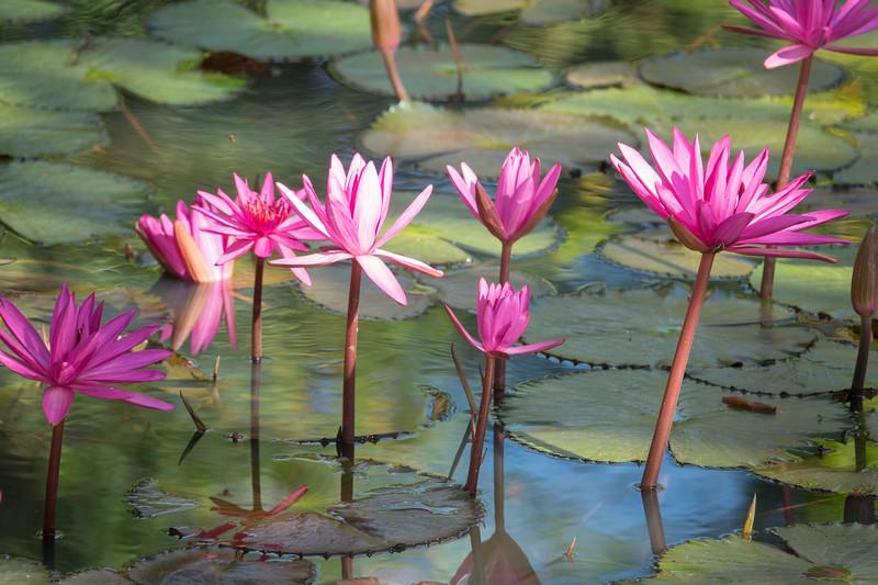 Dancing pink water lilies