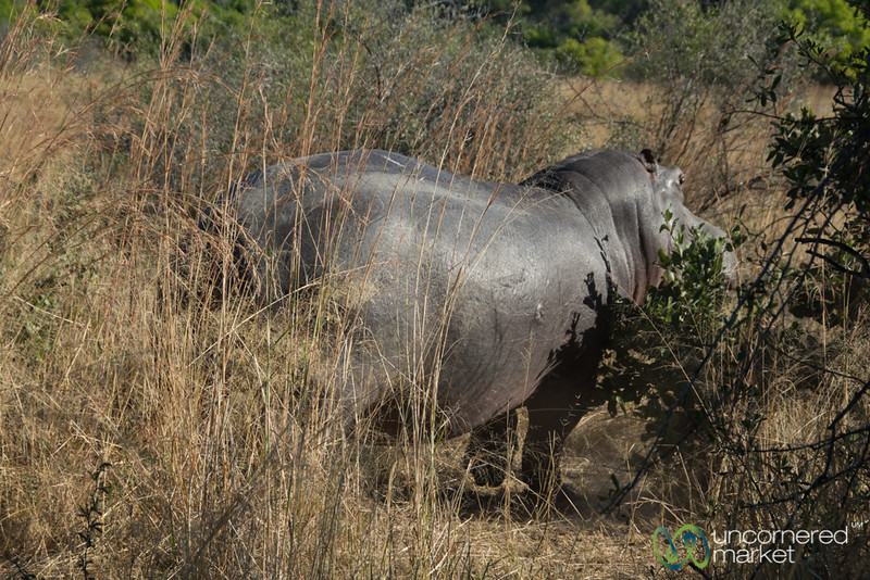 Hippo Out of Water - Moremi Game Reserve, Botswana