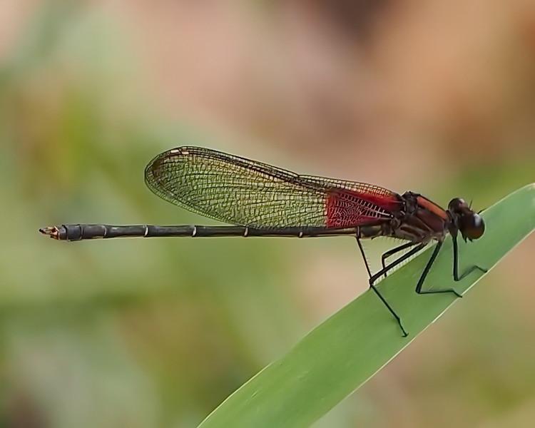 American Rubyspot, male