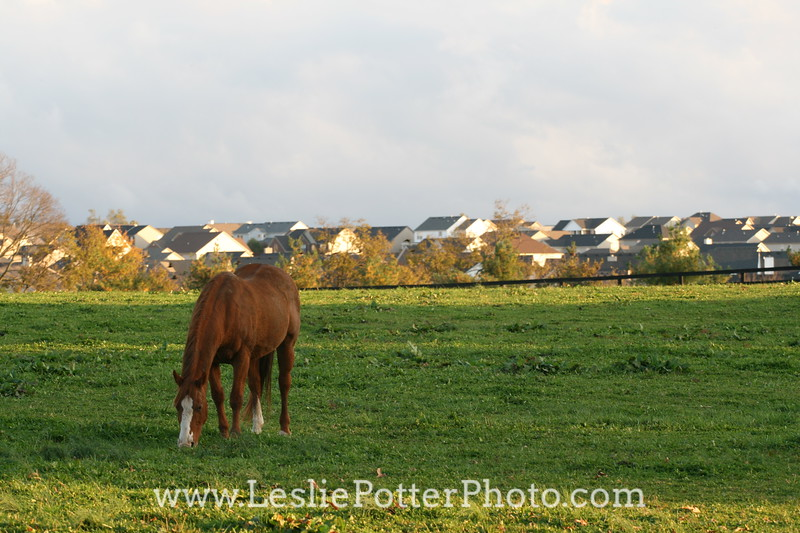 Horse in Front of Suburban Residential Subdivision
