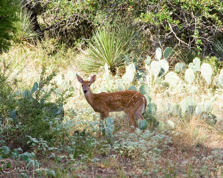 Texas Deer.jpg