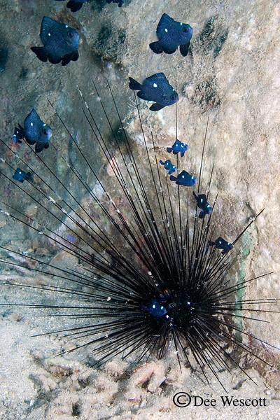 Damsels in an Urchin.jpg