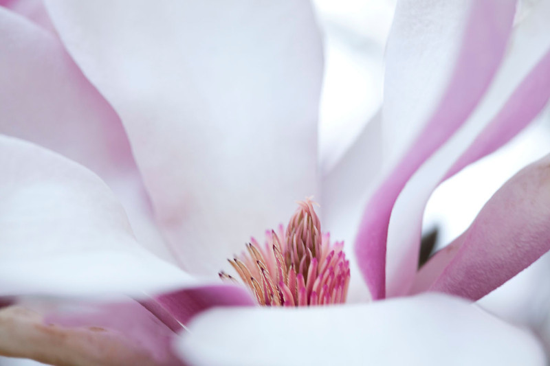 Magnolia abstract 2