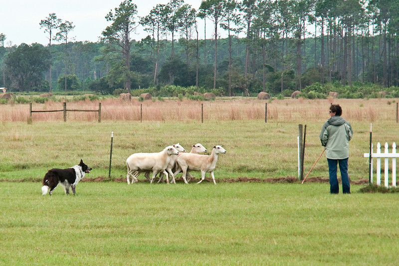 #505 (Sunday) - Dafydd keeps the sheep together as he moves them into the holding pen. Asher-Dell Dafydd HIAs, a Border Collie, is owned by Patricia Houle, Dan McGilliduddy & Judith Kelly and handled by Kathy Walker, agent.