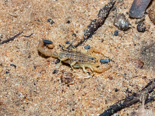Variegated Lesser Thicktailed Scorpion (Uroplectes variegatus)