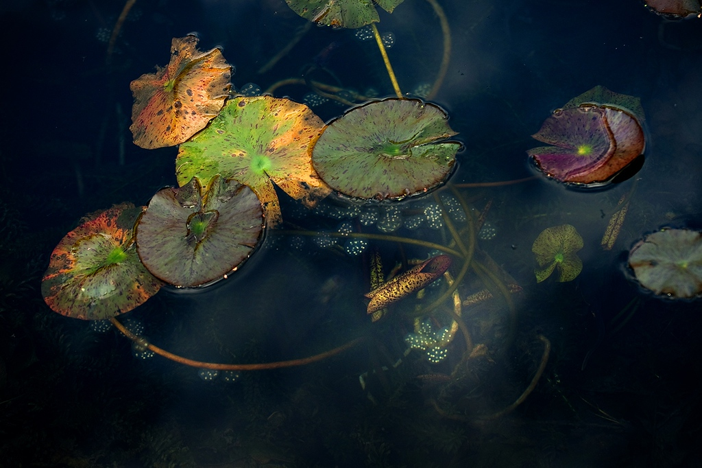 . The fertilized eggs of newts are attached to the underwater stems of water lilies. (Photo by Walter Kitundu)