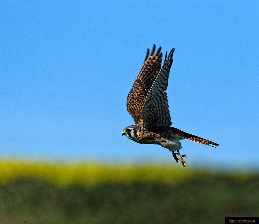 Kestrel in flight in Point Reyes National Seashore.
