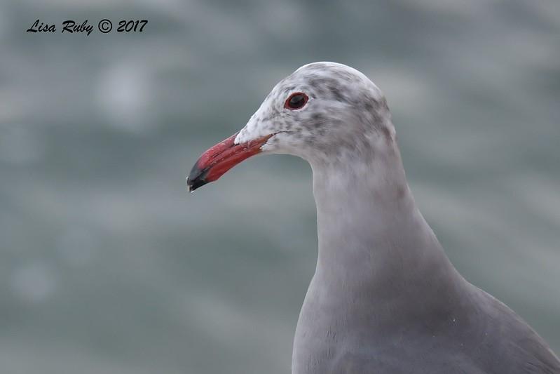 Heerman's Gull - 12/10/2017 - La Jolla Cove