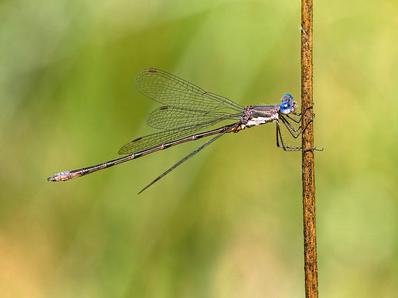 Spotted Spreadwing (Lestes congener), Male