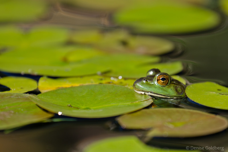 frog sitting with lily pads, hiding in plain sight
