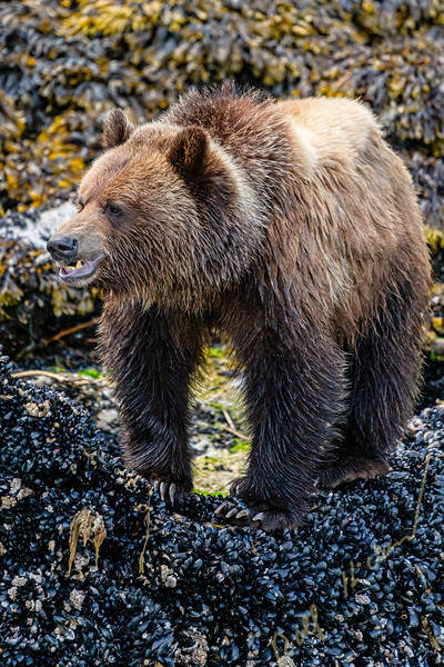 Grizzly bear foraging along the low tide line on blue mussels, Knight Inlet, First Nations Territory, Great Bear Rainforest, British Columbia, Canada.
