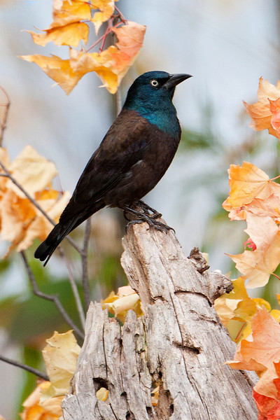 Grackle - Common - Dunning Lake, MN - 03