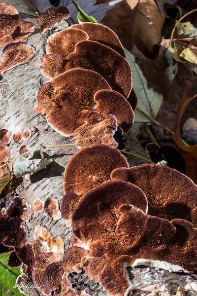 Bracket fungus 110516-3.jpg