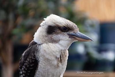 Vogels IJsvogels