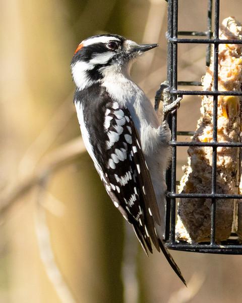 Male  Hairy Woodpecker in Spring, 2020