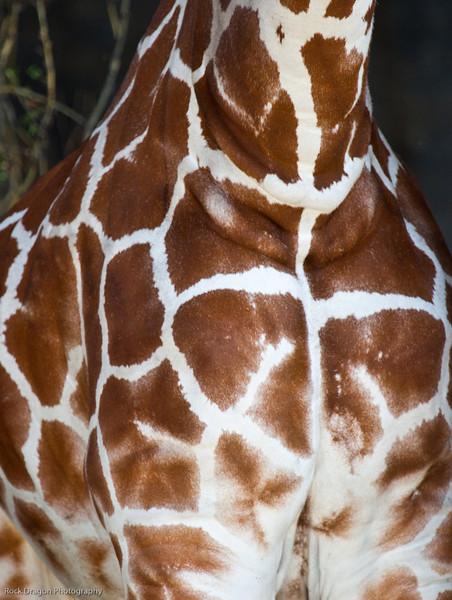 Reticulated Giraffe, Calgary Zoo, Sept. 30