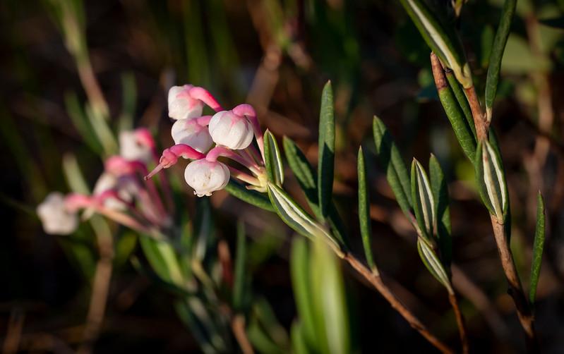 Andromeda polifolia/ bog-rosemary